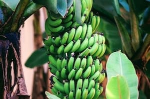 Green Bananas Growing On Banana Tree for Single Ingredient Groceries